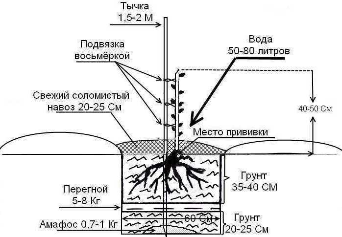 Схема посадки грецкого ореха
