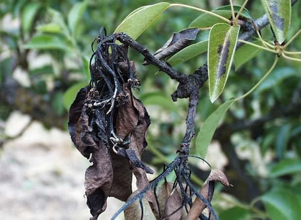 Бактериальный ожог практически невозможно остановить, так как инфекция скрывается внутри дерева