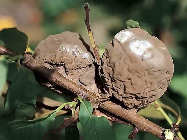 Еще одной причиной опадания плодов является поражение садовых насаждений серой плодовой гнилью