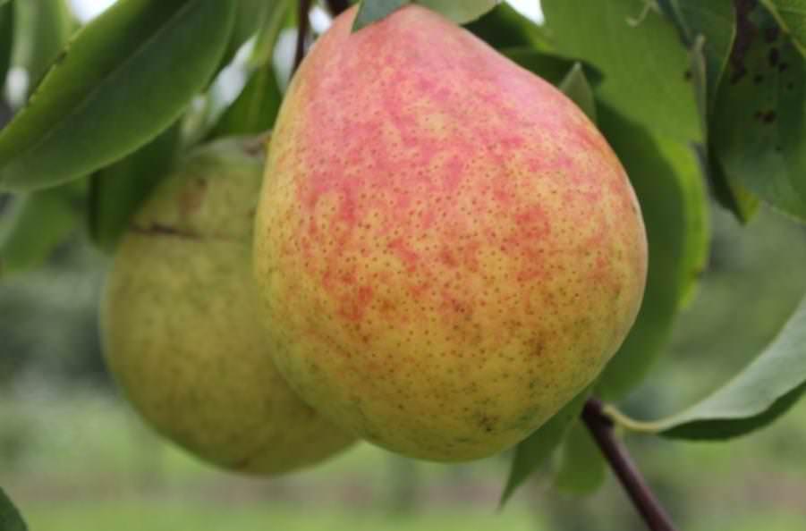 Сорт груши «Кокинская» зарекомендовал себя в частном садоводстве на территории многих регионов нашей страны