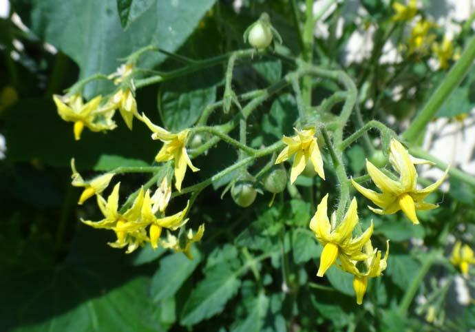 Период от всходов до начала вызревания плодов сорта Рома занимает порядка четырех месяцев