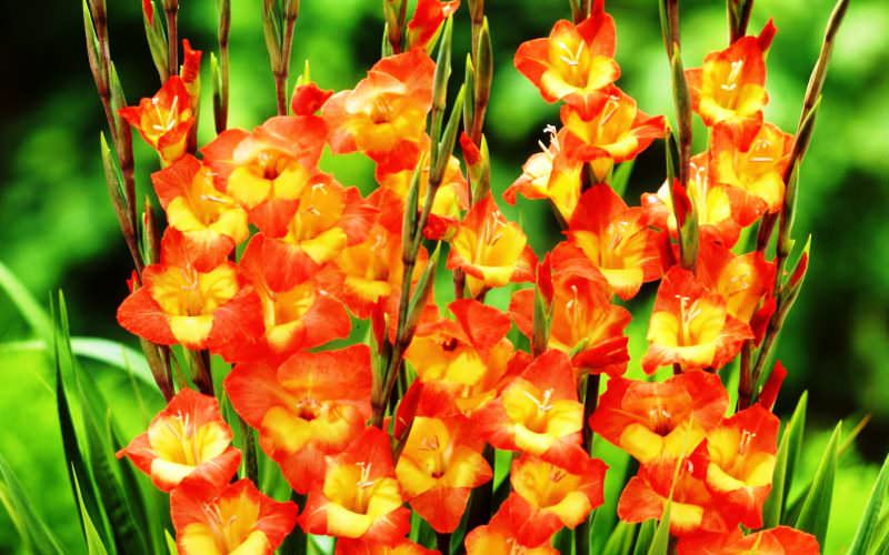 Выращивание гладиолусов — это увлекательное мероприятие, которое понравится любому садоводу
