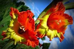 Гладиолус относится к роду многолетних клубнелуковичных растений из семейства Ирисовые