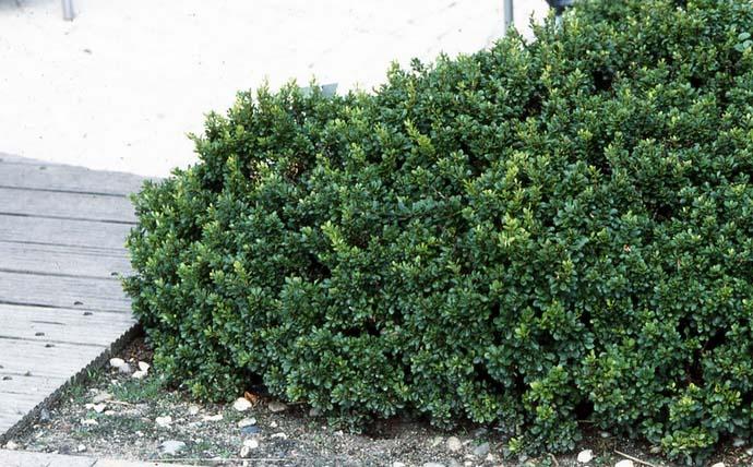 Барбарис — высокодекоративное растение, активно использующееся в ландшафтном дизайне