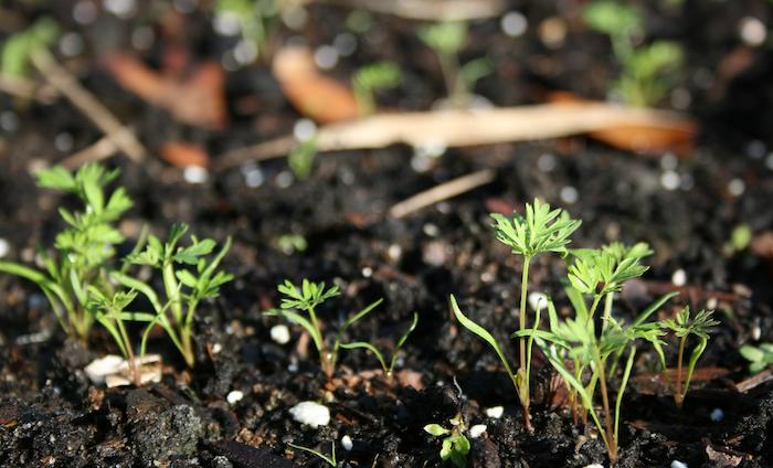 Всходы моркови Абако F1 выдерживают понижение температуры до –4 °C