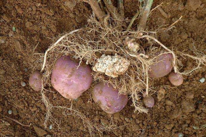 Значительно реже поражению подвергаются нижняя часть стеблей и листья картофеля