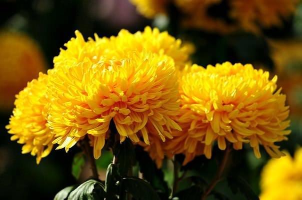 Хризантема цветет продолжительно и очень пышно