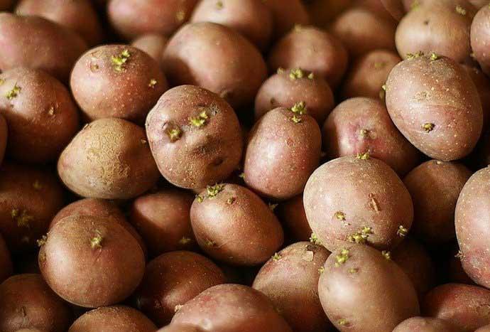 Предпосевная обработка картофеля заключается в опрыскивании клубней чудодейственным раствором