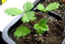 Выращивание рассады земляники из семян дома требует внимания