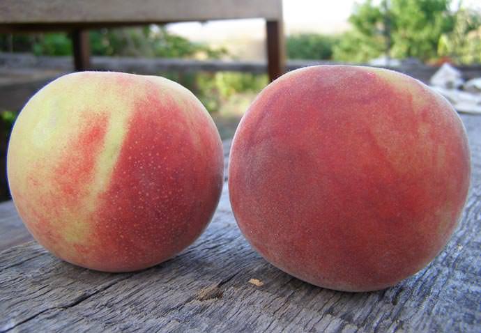 Какие сорта персиков можно выращивать в подмосковье?