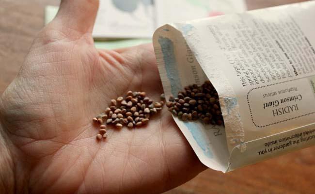 Начиная с апреля такую овощную культуру, как редис, уже можно высеивать для домашнего выращивания