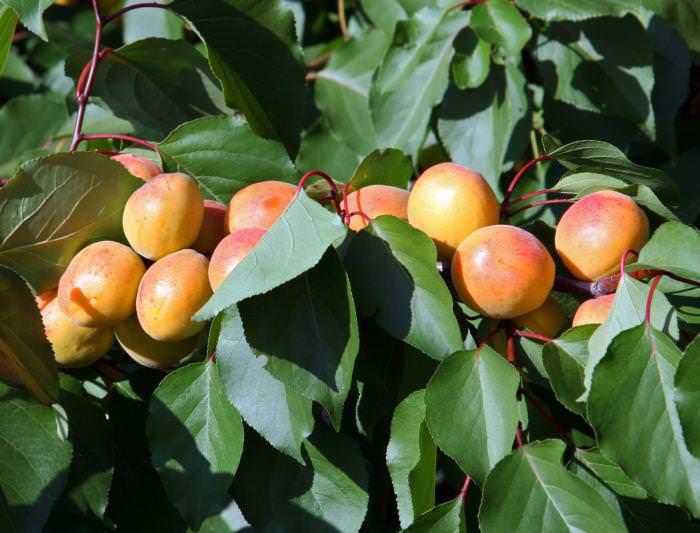 Абрикос с аристократическим названием «Графиня» относится к числу светолюбивых и теплолюбивых плодовых растений