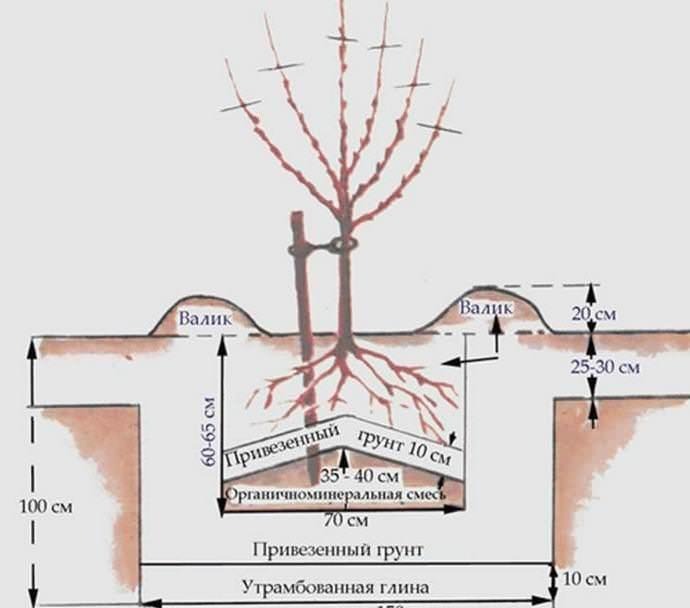 Правильная посадка абрикоса Кичигинский предполагает соблюдение проверенной временем и опытом садоводов технологии