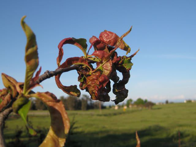 Курчавость листьев персика проявляется в начале вегетации сильной деформацией побегов и листовых пластин