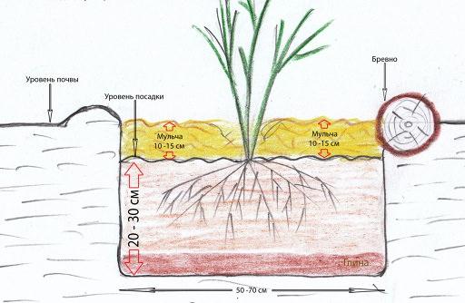 При осуществлении посадки корневую шейку можжевельника следует располагать на одном уровне с краями посадочной ямы