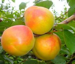 Абрикос «Королевский» характеризуется обильным плодоношением