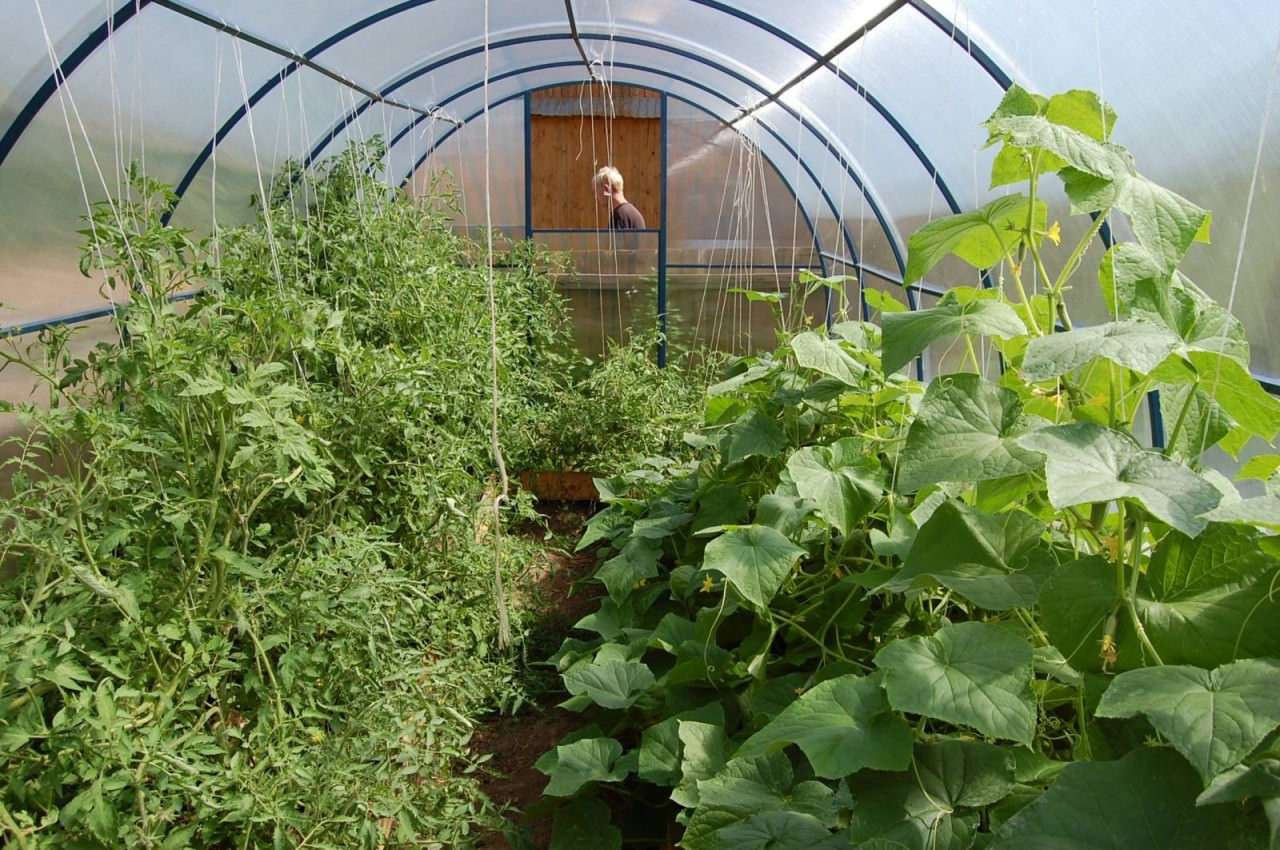 Уход за томатами в теплице из поликарбоната