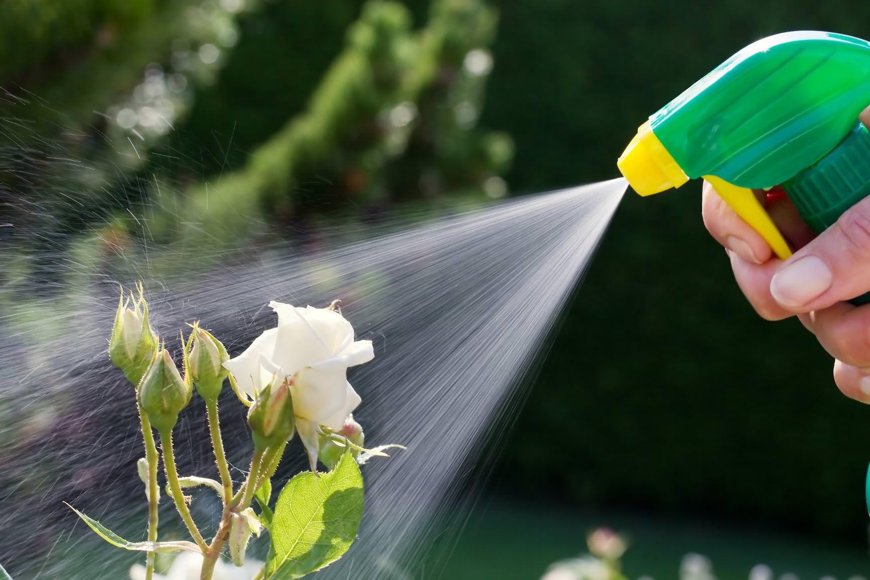 Опрыскивание растения мыльным раствором является несложным методом борьбы с тлей