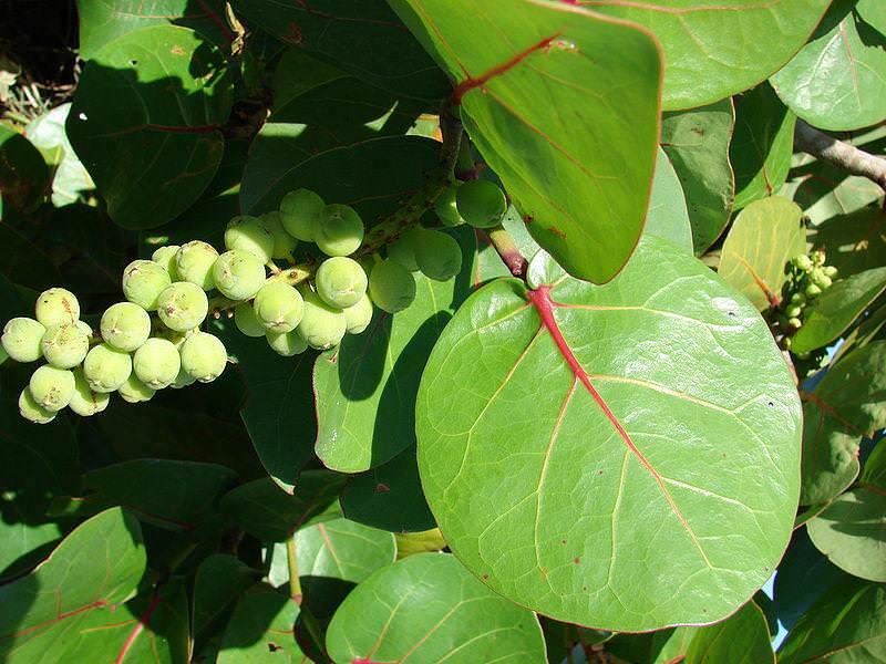 Кокколоба ягодоносная- произрастает на территории Южной Флориды, Мексики и Центральной Америки