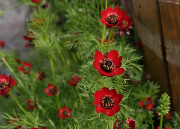 Для успешного выращивания адониса необходимо содержать почву под ним в умеренно увлажненном и рыхлом состоянии