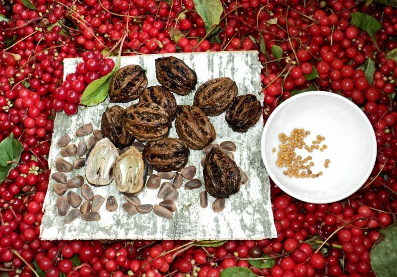 Корень, стебель, листья, цветки и плоды лимонника содержат целый букет полезных для человека веществ