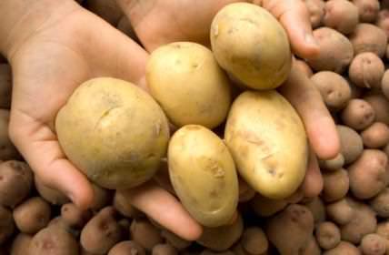 Картофель «Джувел» является суперранним сортом