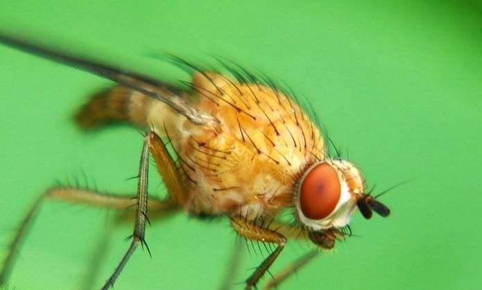 Для защиты от стеблевых мух проводится опрыскивание раствором препарата «Актеллик» из расчета 15 мл средства на 10 л воды