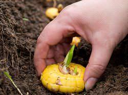Выращивать гладиолусы в Сибири возможно