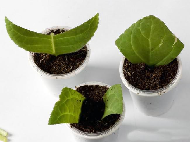 Глоксинию можно размножать вегетативным способом