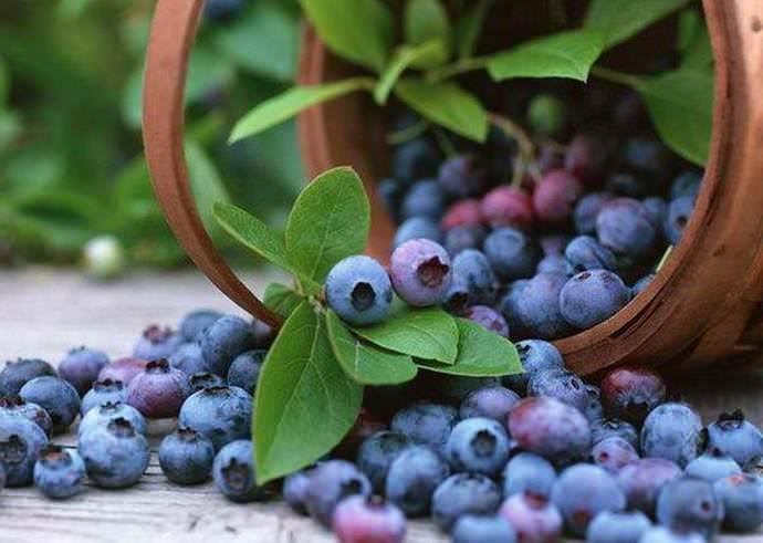 Голубика известна в народе своими полезными свойствами