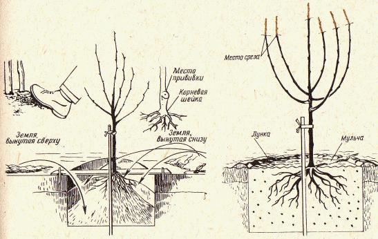 Абрикос сорта Сирена высаживается согласно стандартной схеме