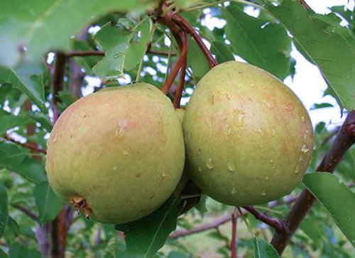 Осенний сорт груши «Сварог» относится к категории ранних