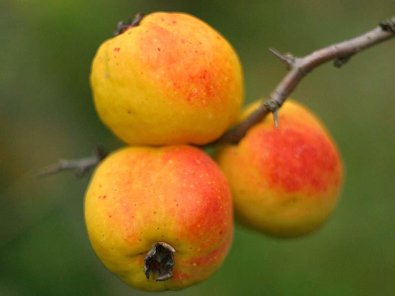 Японская айва внешне похожа на яблоко, обладает огромным количеством положительных качеств