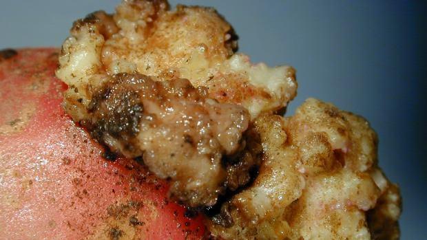 Рак картофеля относится к классу хитридиомицетов, причисляемых к карантинным объектам