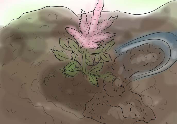 Опытные цветоводы рекомендуют высаживать астильбу весной