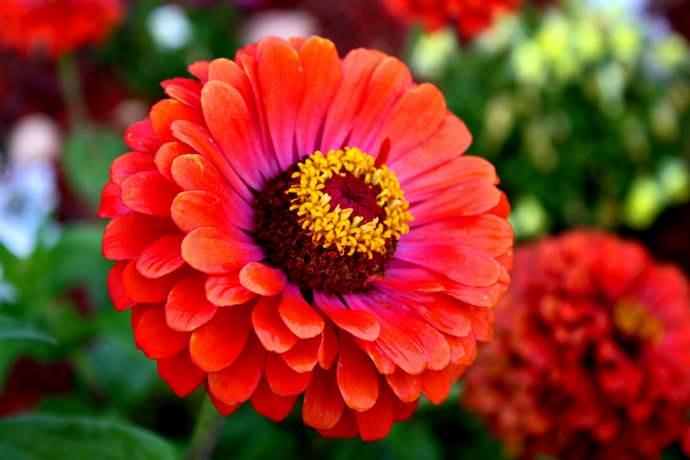 Главное достоинство циннии – длительное цветение
