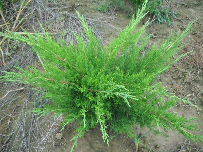 Разновидность Juniperus media Mint Julep характеризуется достаточно хорошей устойчивостью к морозам и раннему осеннему похолоданию