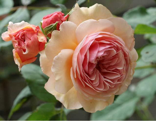 Главная особенность сортов английских роз – способность видоизменять форму и вид куста в зависимости от условий произрастания