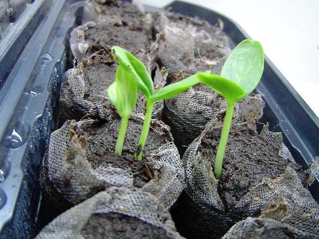 Чтобы оградить рассаду сорта «Спино f1» от преждевременного вытягивания и перерастания, следует поддерживать стабильную влажность почвенного субстрата