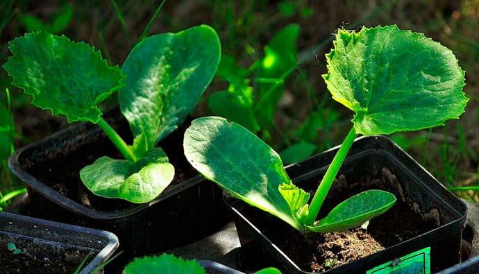 Рассадный способ посадки желтоплодных кабачков хорошо подходит для получения ранней овощной продукции