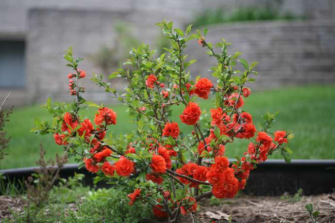 Айва декоративная относится к категории теплолюбивых растений
