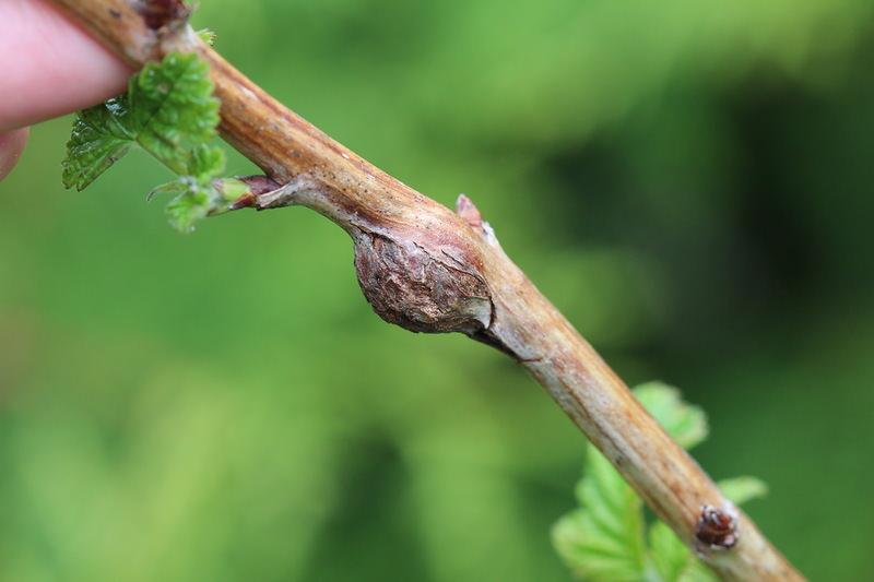 Предотвратить поражение растений малиновой галлицей при помощи химических препаратов невозможно, поэтому требуется удалять поврежденные побеги и сжигать их