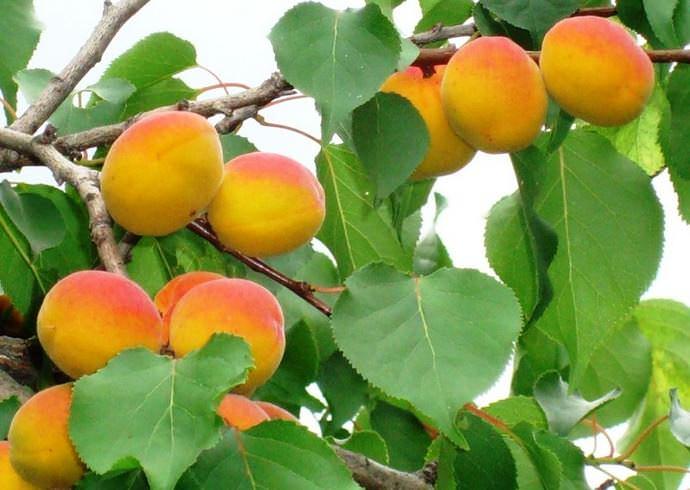 Выращивание абрикоса Восторг в условиях любительского приусадебного садоводства предполагает грамотный выбор участка и качественную подготовку его к посадке