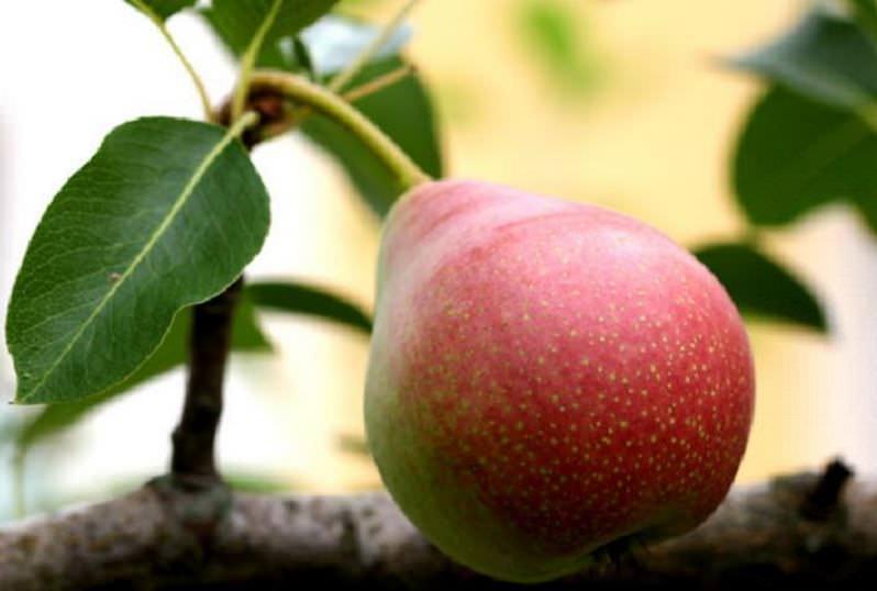 Съемная спелость урожая сорта «Сварог» приходится на последнюю декаду сентября