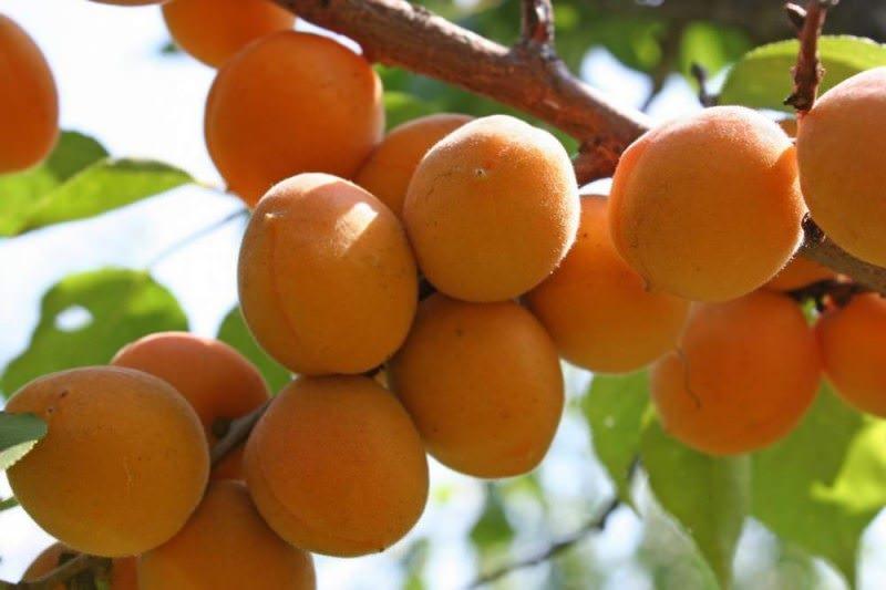 Абрикос «Чемпион севера» характеризуется крупными размерами плодов
