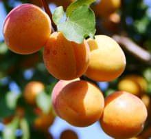 Сорт абрикоса «Успех» относится к категории морозостойких