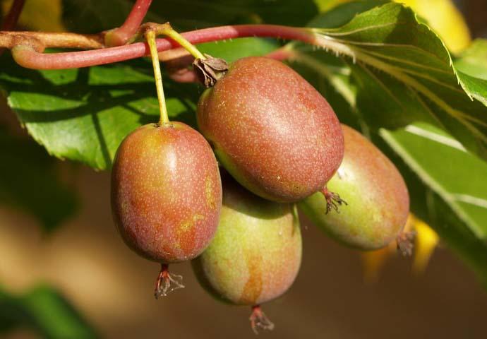 Повышенное содержание в спелых плодах актинидии полезных веществ хорошо активизирует обменные процессы