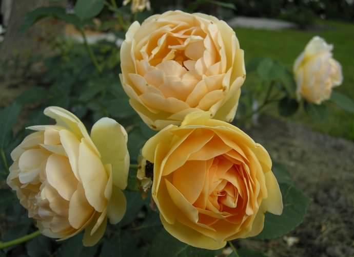 Английские розы не переносят интенсивного освещения солнцем