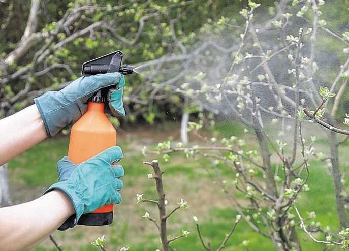 В ранний весенний период осуществляется обработка плодовых деревьев от коккомикоза, клястероспороза, пятнистостей