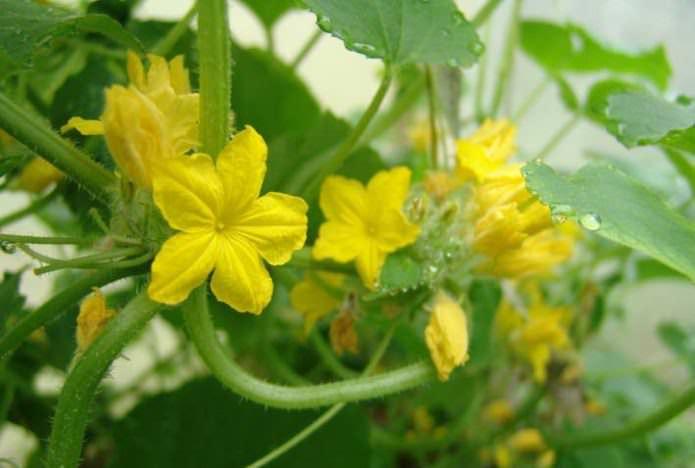 Огурец «Муравей F1» — это очень скороспелый партенокарпический пучковый корнишонный гибрид женского типа цветения